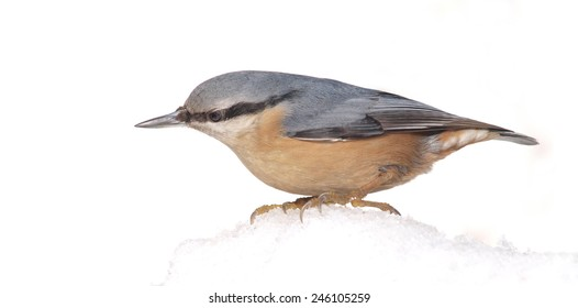 Eurasian Nuthatch (Sitta europaea) on Snow