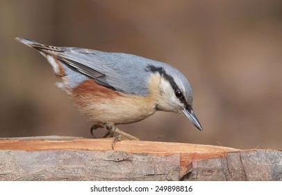 Eurasian Nuthatch (Sitta europaea) on a branch