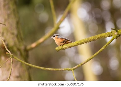 Eurasian Nuthatch - Sitta europaea on the autumn brench with big bllurred background