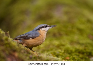 Eurasian Nuthatch (Sitta europaea) resting on a mossy branch of an old oak, forest of Fontainebleau, France