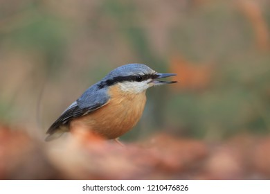 Eurasian nuthatch (Sitta europaea) sits on the ground. nuthatch in the nature habitat. Wildlife scene from fall forest.