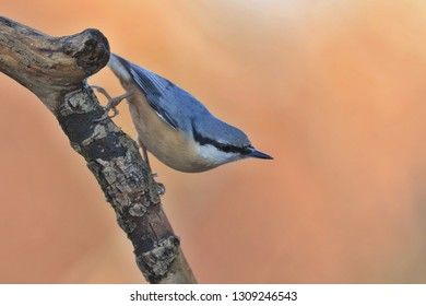 Eurasian nuthatch (Sitta europaea) sits on the branch. nuthatch in the nature habitat. Wildlife scene from fall forest.