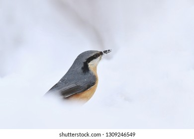 Eurasian nuthatch (Sitta europaea) sits on the ground. nuthatch in the nature habitat. Winter scene with song bird.