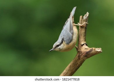 Eurasian nuthatch (Sitta europaea) sits on the branch. nuthatch in the nature habitat. Wildlife scene from forest.