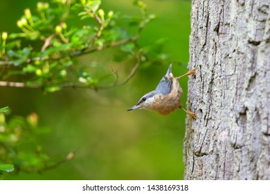 Eurasian nuthatch (Sitta europaea) sitting on a tree trunk in the nature protection area Moenchbruch near Frankfurt, Germany.
