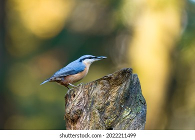 The Eurasian nuthatch (Sitta europaea) stands on a tree stump with sunflower seeds in its beak. Autumn colors, beautiful bokeh.