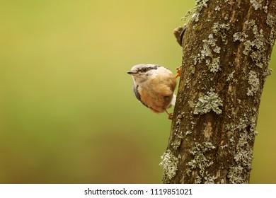 Eurasian nuthatch, Sitta europaea, typical pose on the tree