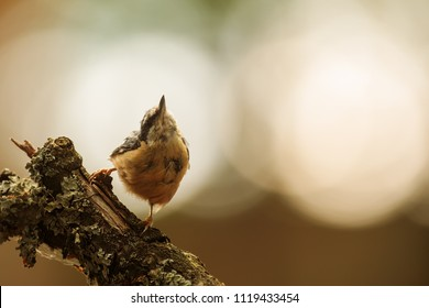 Eurasian nuthatch, Sitta europaea, very nice pose with strong back light