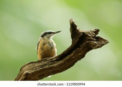 Eurasian nuthatch, Sitta europaea, very nice bird
