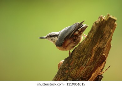 Eurasian nuthatch, Sitta europaea, with very nice light is sitting on the dry branch