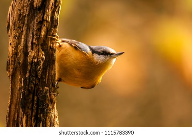 Eurasian nuthatch (Sitta europea) perched in a branch