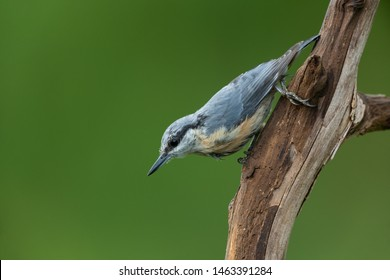 Eurasian nuthatch sitting on a branch