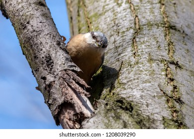 Eurasian nuthatch sitting on a tree branch with green spider in beak. Wood nuthatch (Sitta europaea) is orange colored small passerine bird with black eyestripe and grey upperpart.