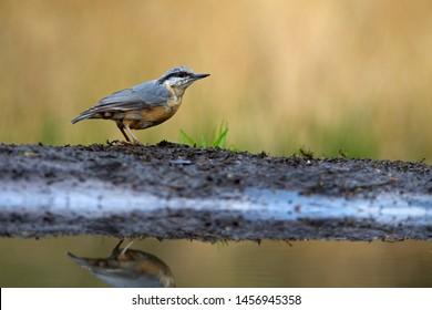 Eurasian Nuthatch stands at pond edge on Lemelerberg, the Netherlands
