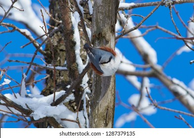 Eurasian nuthatch (wood nuthatch) hangs on a dry tree trunk upside down in a winter forest park.