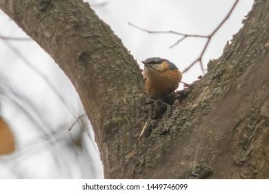Eurasian nuthatch, wood nuthatch on tree (Sitta europaea) Little songbird winter time