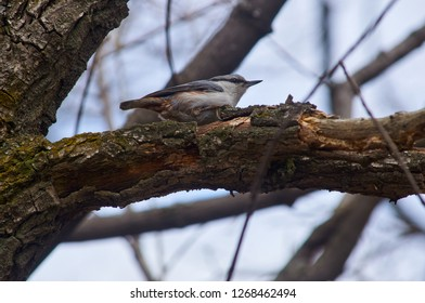 Eurasian nuthatch (wood nuthatch) runs along the branch, hunting for insects in the spring forest park.