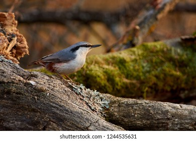 Eurasian nuthatch (wood nuthatch) sits on a log with lichen on a background of autumn forest.