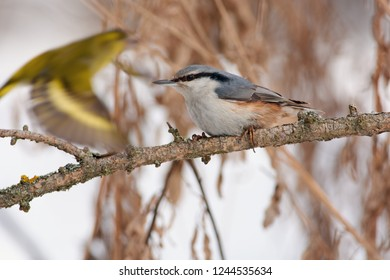 Eurasian nuthatch (wood nuthatch) sits on a branch of a larch on a background of bushes and a flying bird.