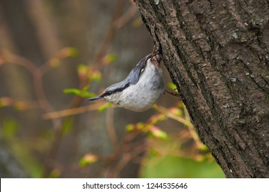 Eurasian nuthatch (wood nuthatch) sits on a tree trunk in its famous stand (in a spring forest park).