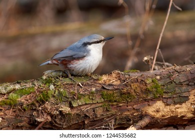 Eurasian nuthatch (wood nuthatch) sits on a fallen log in a forest park in late autumn.