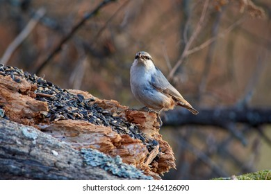 Eurasian nuthatch (wood nuthatch) sits on a rotting log with sunflower seeds in its beak.