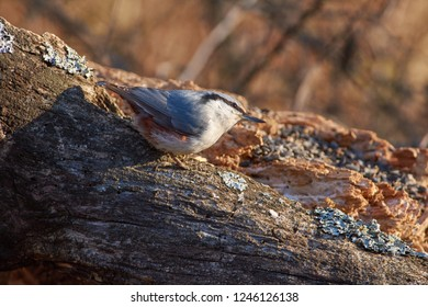 Eurasian nuthatch (wood nuthatch) sits on a dry log in the autumn forest park (flew for sunflower seeds).