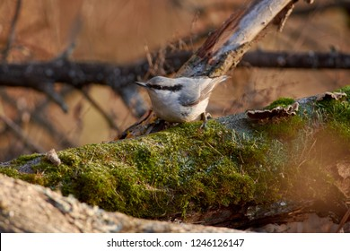 Eurasian nuthatch (wood nuthatch) sits on a mossy log with a seed in its beak on the background of an autumn forest park.