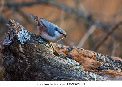 Eurasian nuthatch (wood nuthatch) sits on a mossy log with a seed in its beak in a forest park in late autumn.