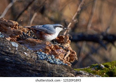 Eurasian nuthatch (wood nuthatch) sits on a log with a seed in its beak in the autumn forest park.