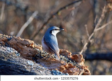 Eurasian nuthatch (wood nuthatch) sits on a dry log with a seed in its beak in a forest park in late autumn.
