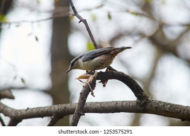 Eurasian nuthatch (wood nuthatch) sits on a branch in hunting pose in the spring forest park.