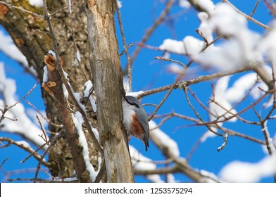 Eurasian nuthatch (wood nuthatch) sits on a tree trunk in hunting pose in the winter forest park.