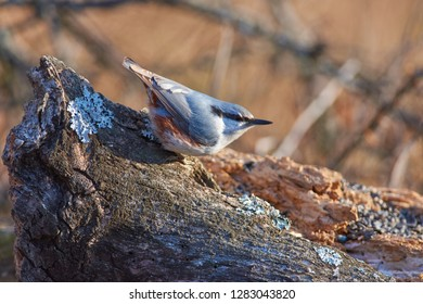Eurasian nuthatch (wood nuthatch) sits on a large lichen-covered log in a forest park in late autumn.