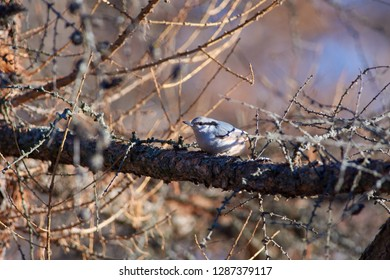 Eurasian nuthatch (wood nuthatch) sits on a larch branch in a forest park in late autumn (in its natural habitat).