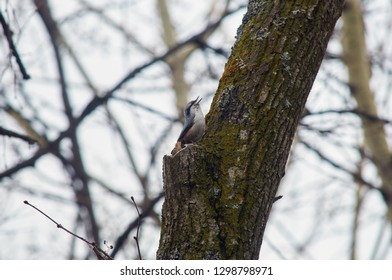 Eurasian nuthatch (wood nuthatch) sits on a tree trunk and sings a spring song in the forest park.