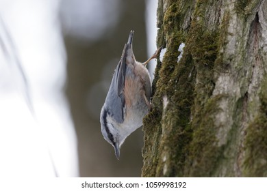 Eurasian nuthatch wood nuthatch (Sitta europaea) clinging on a branch. European nuthatch on the forest floor in typical pose.  Ukraine, 2018.