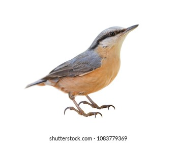 Eurasian nuthatch or wood nuthatch (Sitta europaea) on White background, isolated
