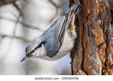 The Eurasian nuthatch or wood nuthatch (Sitta europaea) took a characteristic position on a tree.
