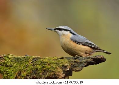 Eurasian nuthatch or wood nuthatch (Sitta europaea)
