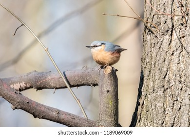 Eurasian nuthatch or wood nuthatch (Sitta europaea) sitting on a tree branch with blurred background. Orange colored small passerine bird with black eyestripe and grey upperpart.