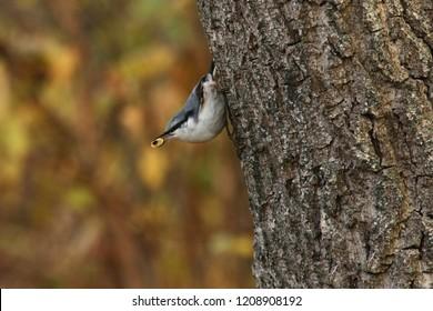 The Eurasian nuthatch, wood nuthatch (Sitta europaea)