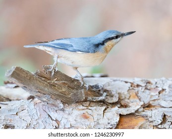 Eurasian nuthatch, wood nuthatch (Sitta europaea)