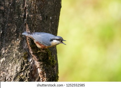 The Eurasian nuthatch or wood nuthatch (Sitta europaea) sitting on the branch in a winter time.