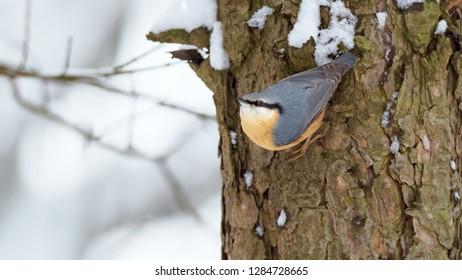 Eurasian nuthatch or wood nuthatch (Sitta europaea) in winter season siting on lichen twig. Bird in nature habitat. Little songbird in snowy landscape.