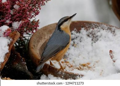 Eurasian nuthatch or wood nuthatch (Sitta europaea, winter feeding