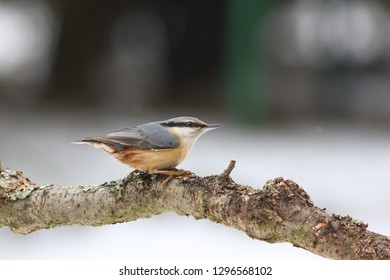 Eurasian nuthatch or wood nuthatch (Sitta europaea) in winter season