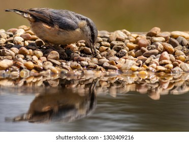 The Eurasian nuthatch or wood nuthatch (Sitta europaea) is a small passerine bird found throughout temperate Asia and in Europe, where its name is the nuthatch
