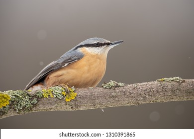 Eurasian nuthatch or wood nuthatch, Sitta europaea, sitting on a perch in winter. Wild bird in nature.