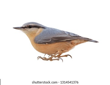 Eurasian nuthatch or wood nuthatch (Sitta europaea) isolated on White background